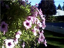 LEEDANIELS_Hilltop House petunias